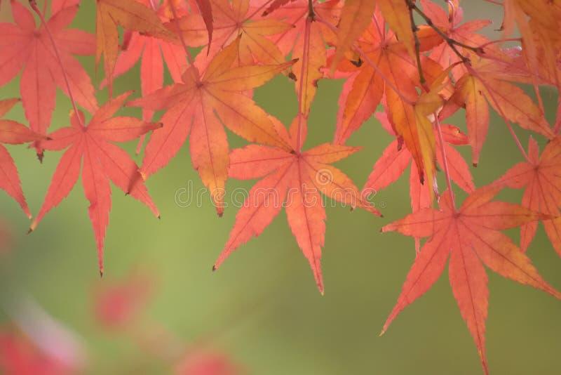 Achtergrond van trillende gekleurde Japanse Esdoornbladeren met vage achtergrond royalty-vrije stock afbeeldingen