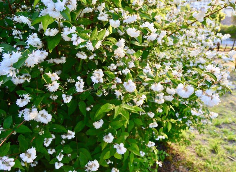 Achtergrond van witte bloemen royalty-vrije stock foto's