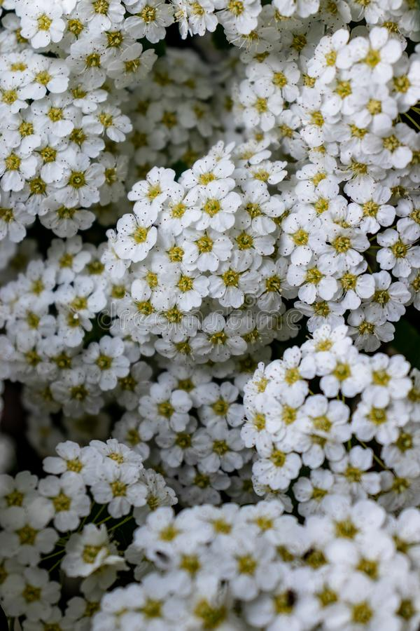 Achtergrond van witte bloemen stock afbeeldingen
