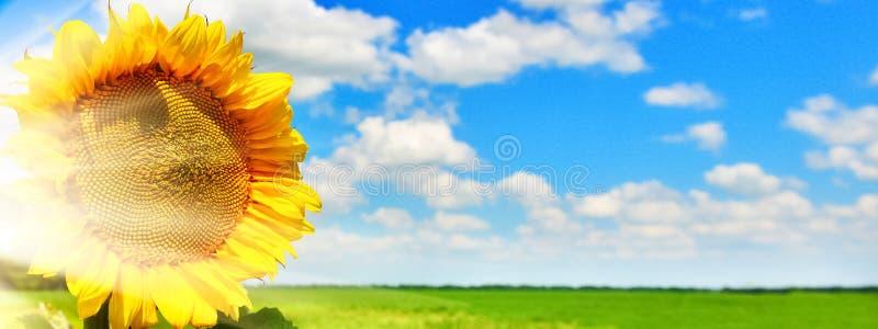 Achtergrond van zonnebloem in zonnig weer stock afbeeldingen