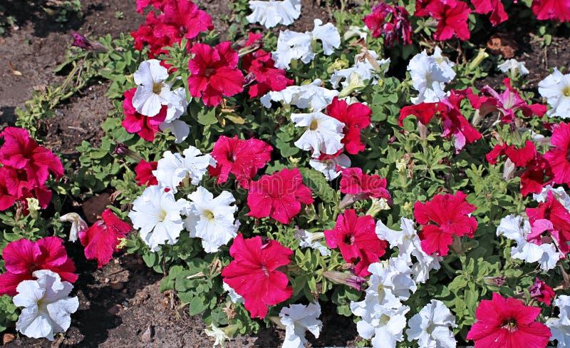 Achtergronden van bloemen rode en witte petunia royalty-vrije stock fotografie