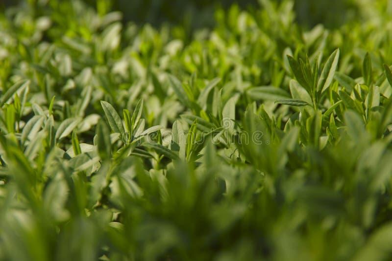 Achtergrondtextuur van groene bladeren Bebouwd geschoten, horizontaal zijaanzicht, Concept aard royalty-vrije stock afbeeldingen