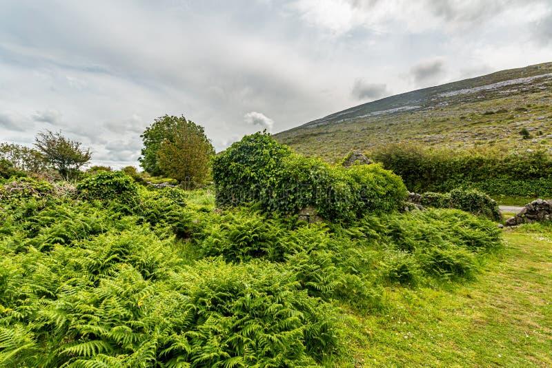 Achtermening van een geruïneerd middeleeuws die huis met installaties in Burren wordt behandeld stock afbeeldingen