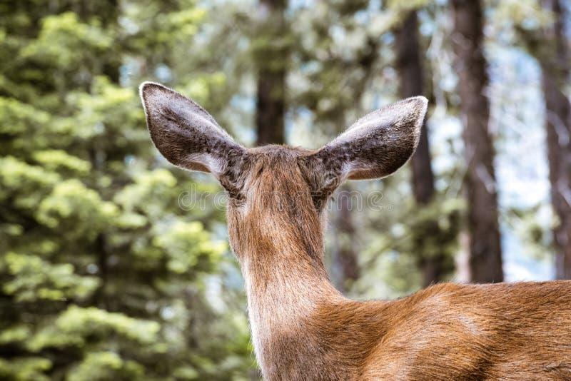 Achtermening van Jong hertenhoofd met zwarte staart, het Nationale Park van Yosemite, Californië royalty-vrije stock foto