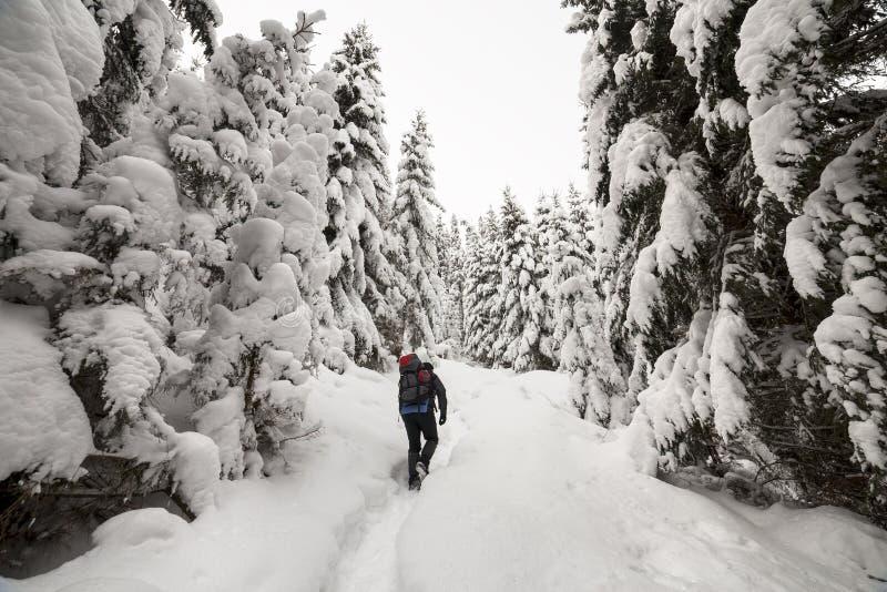 Achtermening van toeristenwandelaar met rugzak die in witte schone diepe sneeuw op heldere ijzige de winterdag lopen in bergbos m royalty-vrije stock afbeelding