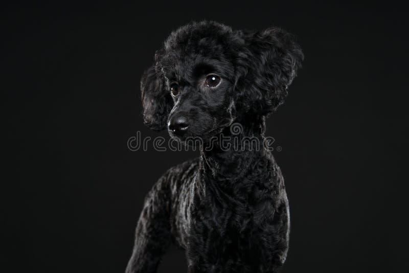 Achterpoedelportret op zwarte achtergrond royalty-vrije stock foto's