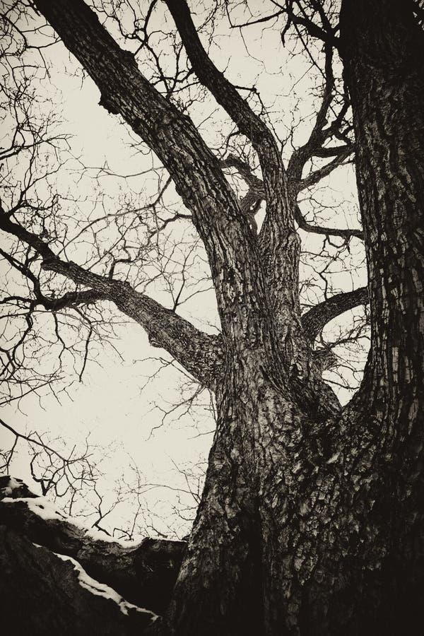 Achtervolgde oude boom royalty-vrije stock foto's