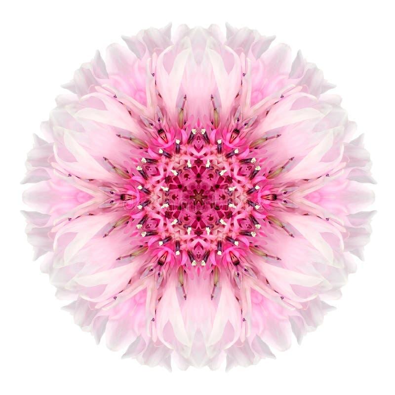 Aciano rosado Mandala Flower Kaleidoscope Isolated en blanco fotos de archivo