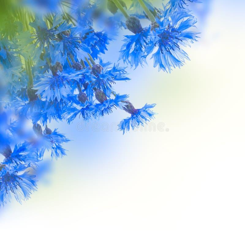 Download Acianos azules salvajes foto de archivo. Imagen de hermoso - 42435348