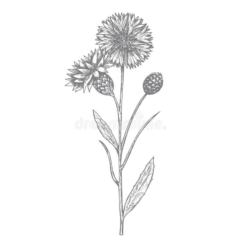 Acianos, flor del verano Mano drenada libre illustration