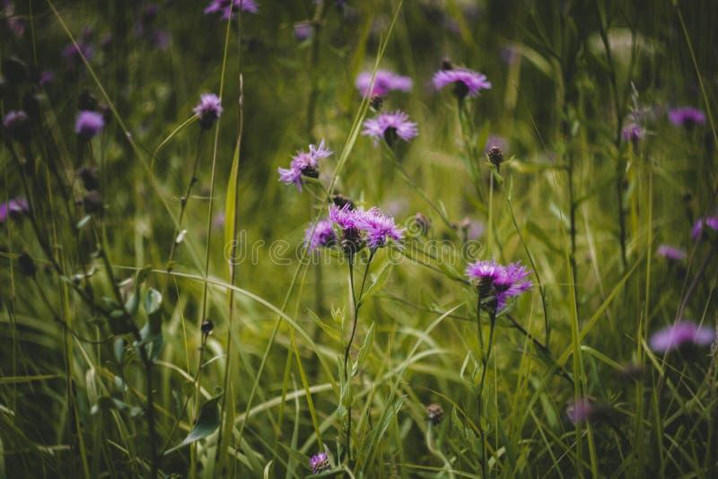 Acianos púrpuras en hierba verde en el campo Muchos wildflowers El aciano áspero crece en el campo Scabiosa del Centaurea foto de archivo libre de regalías