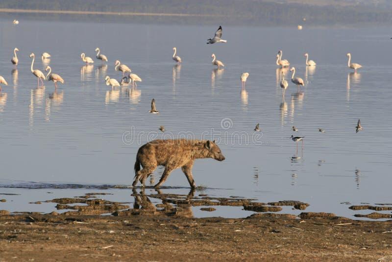 ?aciastej hieny ?owiecki flaming na safari w Kenja Wsch?d s?o?ca w Nakuru jeziorze fotografia stock