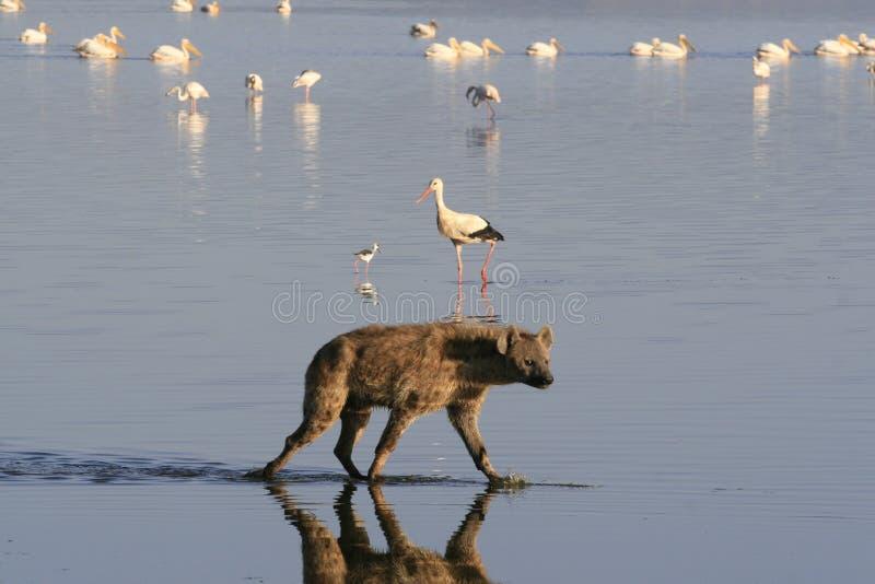 ?aciastej hieny ?owiecki flaming na safari w Kenja Wsch?d s?o?ca w Nakuru jeziorze zdjęcie stock