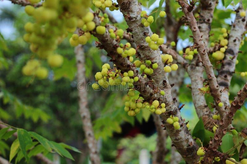 Acidus de Phyllanthus imagem de stock