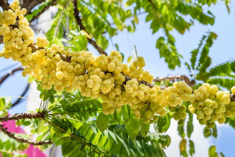 Acidus de Phyllanthus ou groselha da estrela imagens de stock royalty free