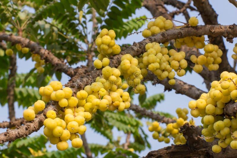 Download Acidus Van Stergosseberry Phyllanthus Stock Foto - Afbeelding bestaande uit dessert, kruisbes: 39117702