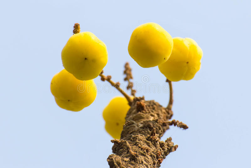 Download Acidus Van Stergosseberry Phyllanthus Stock Foto - Afbeelding bestaande uit versheid, organisch: 39117712