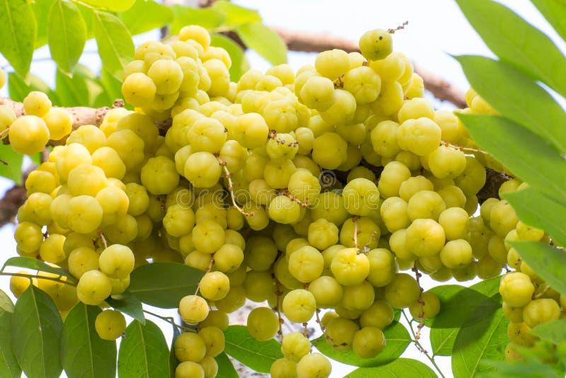 Download Acidus Van Stergosseberry Phyllanthus Stock Afbeelding - Afbeelding bestaande uit rijp, naughty: 39117723