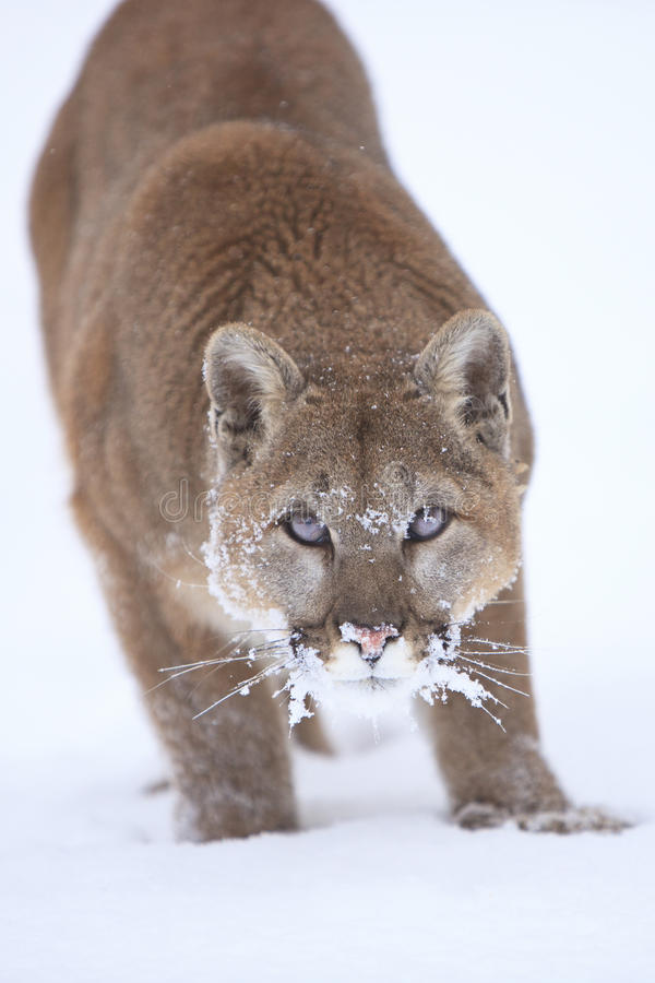 Acima da fotografia próxima do leão de montanha fotografia de stock