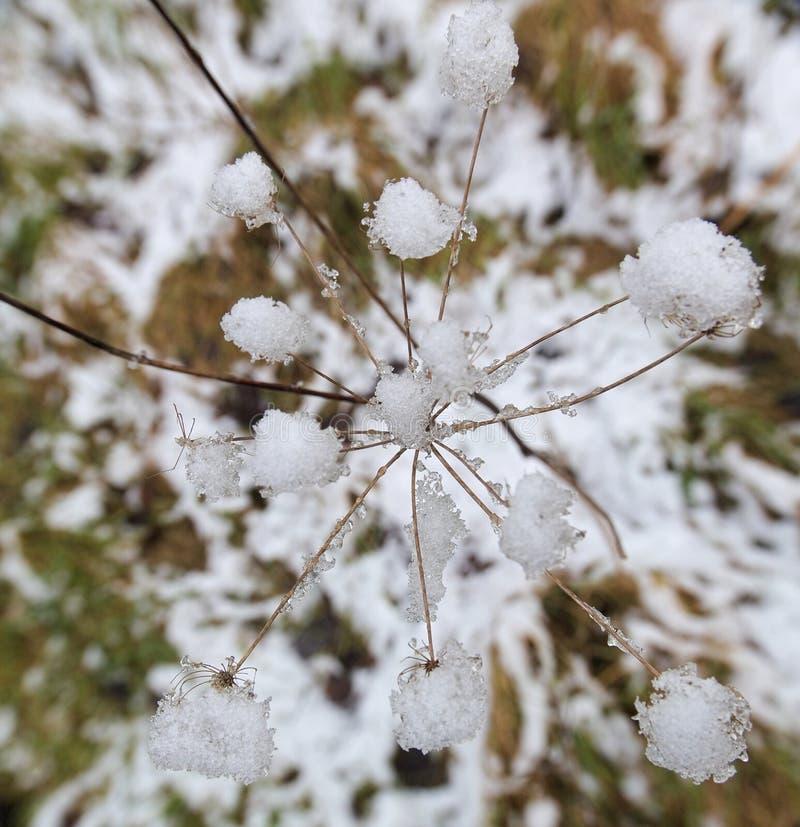 Acima da neve Umbel fotos de stock royalty free