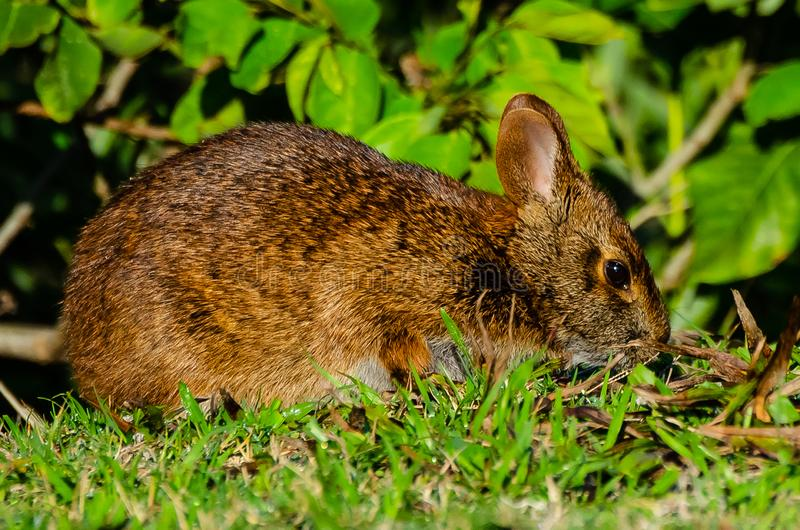 Acima do fim com Marsh Rabbit imagens de stock