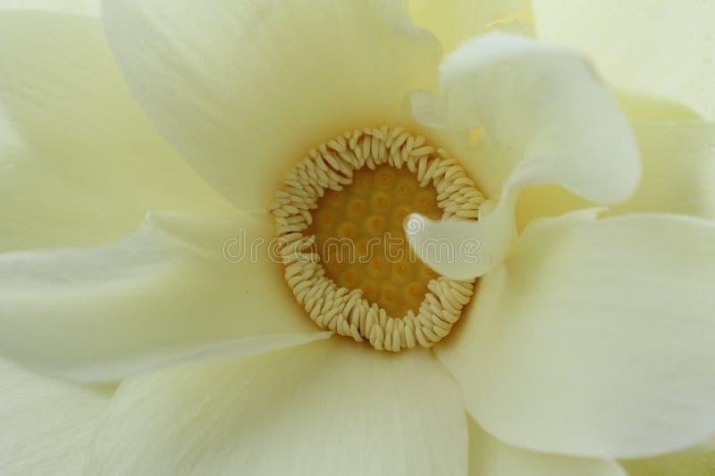 Acima do fim com uma flor de lótus americana imagem de stock royalty free