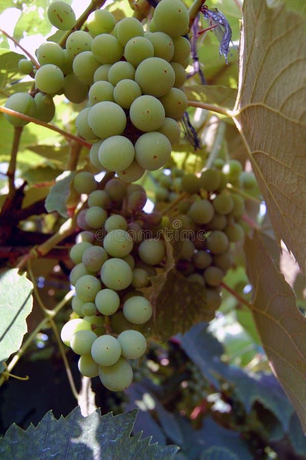 Download Acini d'uva bianchi fotografia stock. Immagine di background - 56891644