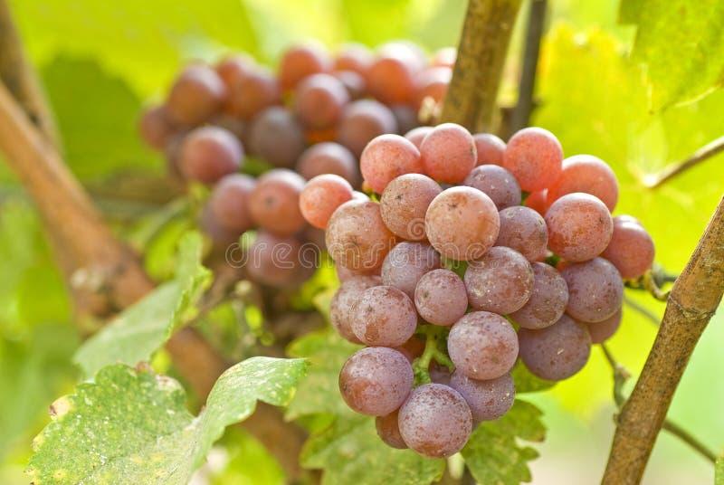 Acini d'uva di Gewurtztraminer in una vigna fotografia stock libera da diritti