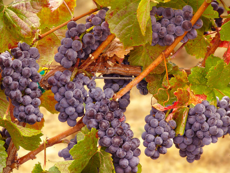 Acini d'uva di Napa Valley sulla vite pronta per il raccolto immagine stock