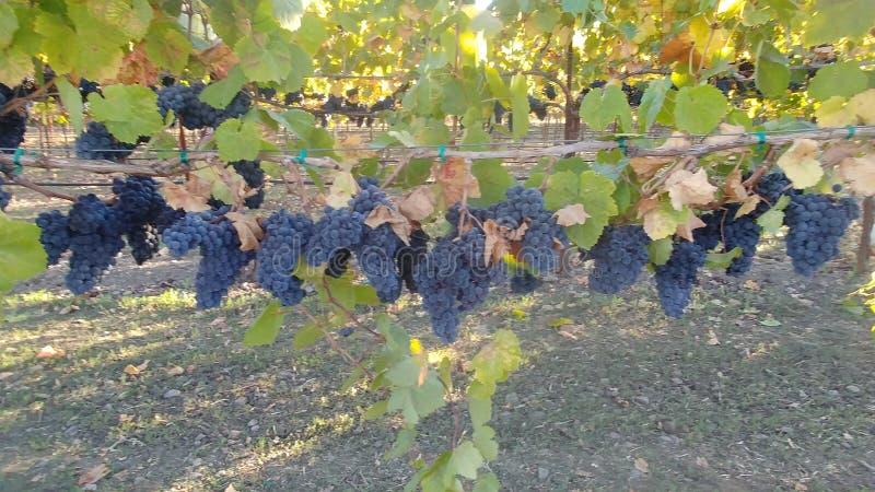 Acini d'uva di selvaggina di NapaValley fotografie stock libere da diritti