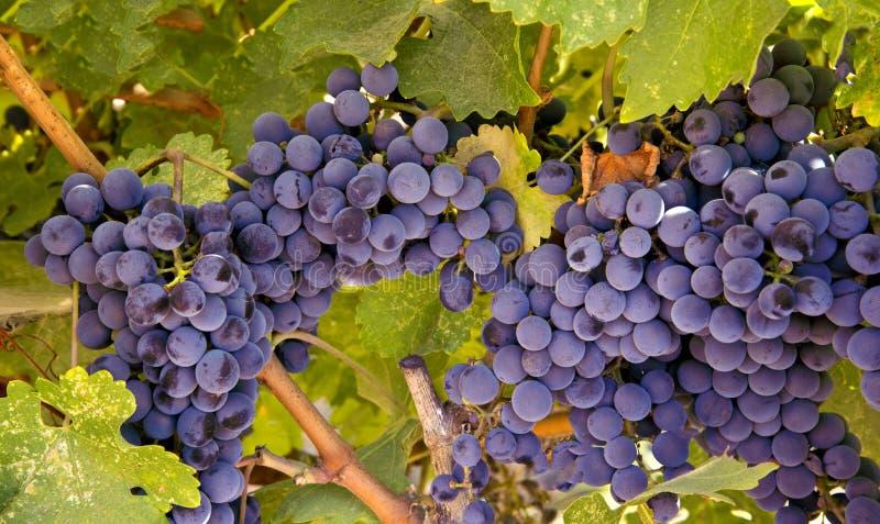 Acini d'uva pronti per il raccolto fotografia stock