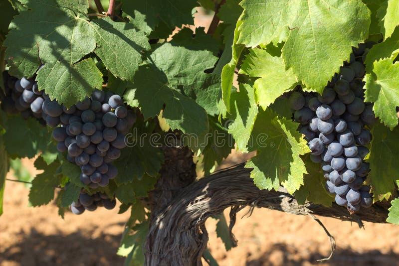 Acini d'uva saporiti prima della raccolta fotografie stock