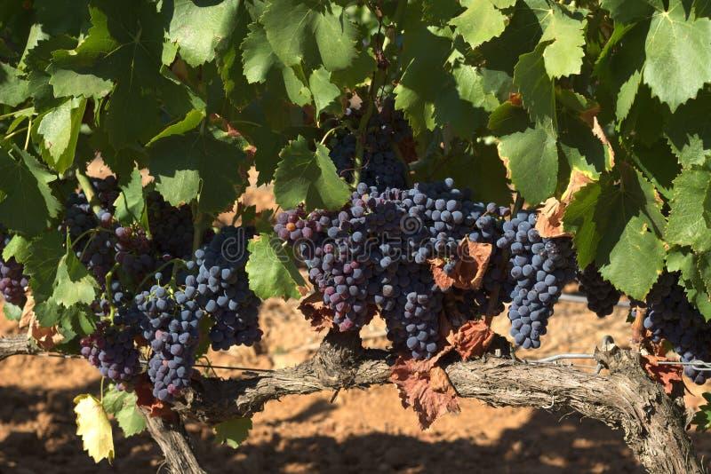 Acini d'uva saporiti prima della raccolta fotografie stock libere da diritti