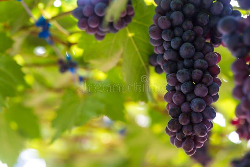 Acino d'uva con la foglia verde sul ramo immagini stock