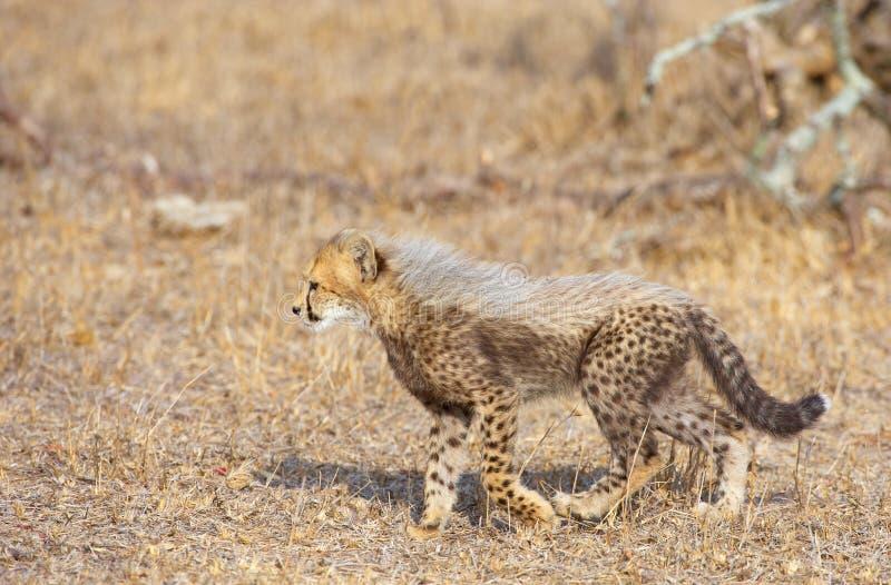 acinonyx geparda lisiątka jubatus obraz royalty free