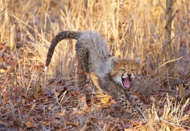 acinonyx geparda lisiątka jubatus obrazy stock