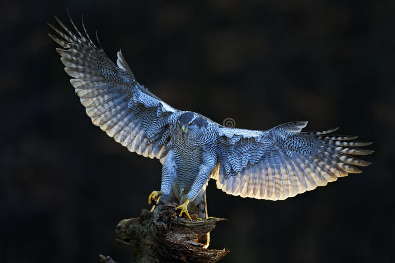 Aciton从森林的野生生物场面,有鸟的 苍鹰,飞行的鸷与开放翼的有晚上太阳后面光的,自然为 库存照片
