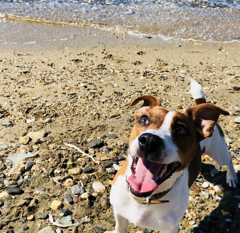 Ack Russel psa przyjaciela śliczny czuciowy figlarnie na piaskowatej plaży zdjęcia stock