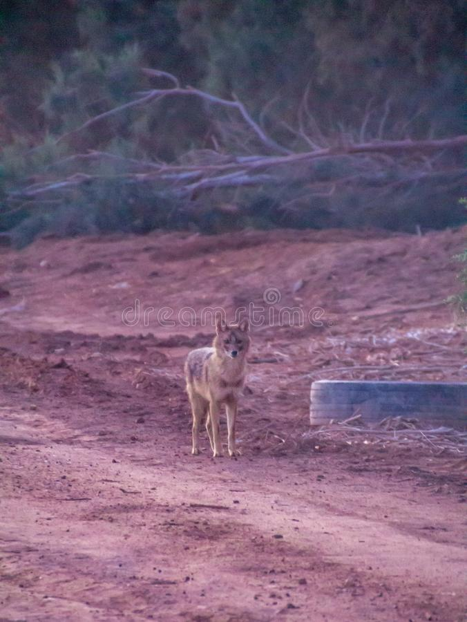 Ackal, mamíferos onívoros de tamanho médio do gênero Canis foto de stock