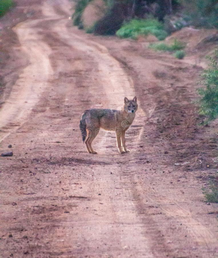 Ackal, a medium-sized omnivorous mammals of the genus Canis. Jackal, a medium-sized omnivorous mammals of the genus Canis, Near Eilat, at dawn. Southern Israel royalty free stock photography