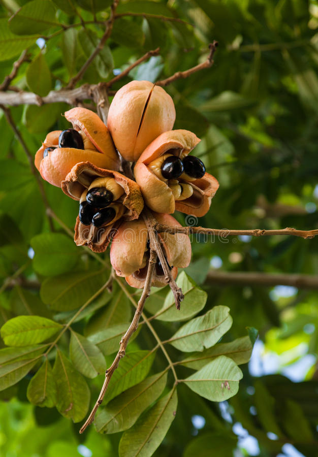Ackee Tree royalty free stock photos