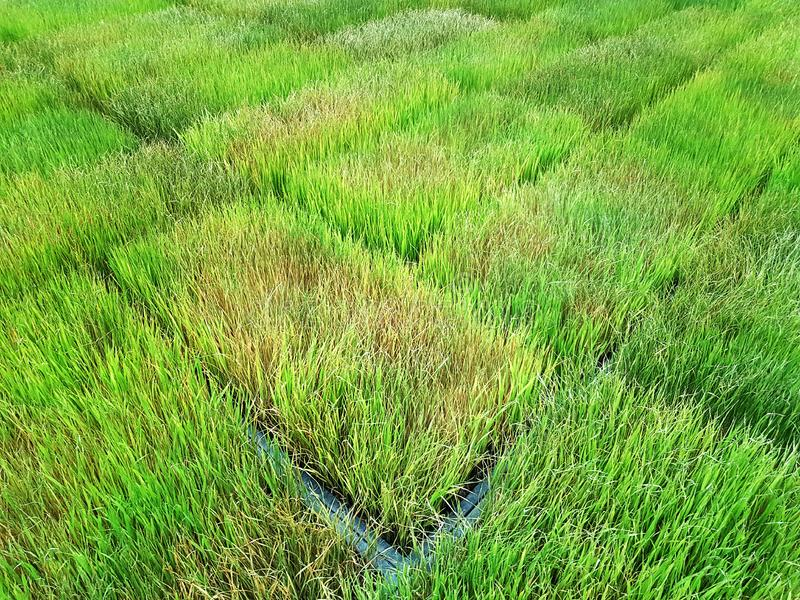 Background of Fresh Young Rice Plants at Plantation Field stock photos