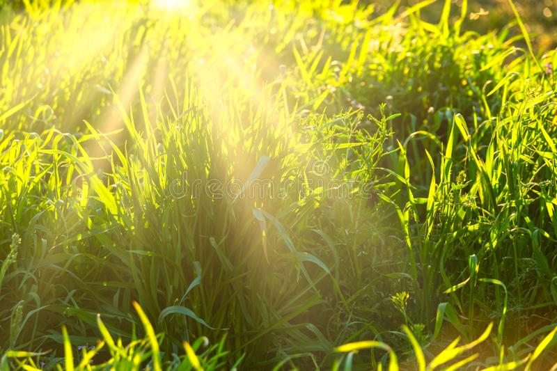 Acklit grass in summer day royalty free stock photo