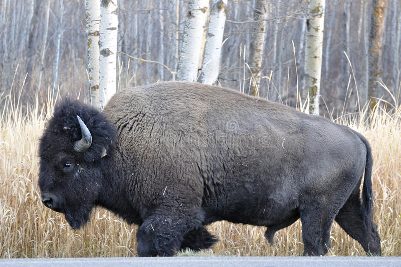 Aclara el bisonte, parque nacional de la isla de los alces fotos de archivo