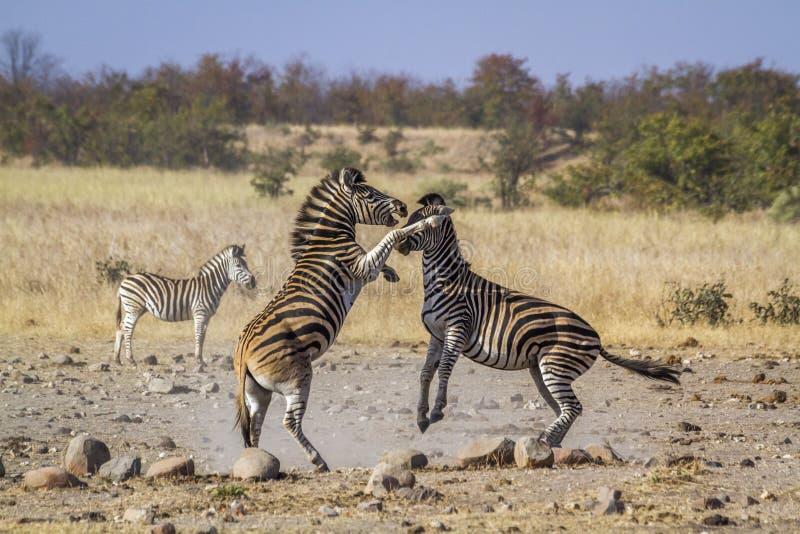 Aclara la cebra en el parque nacional de Kruger, Suráfrica fotografía de archivo