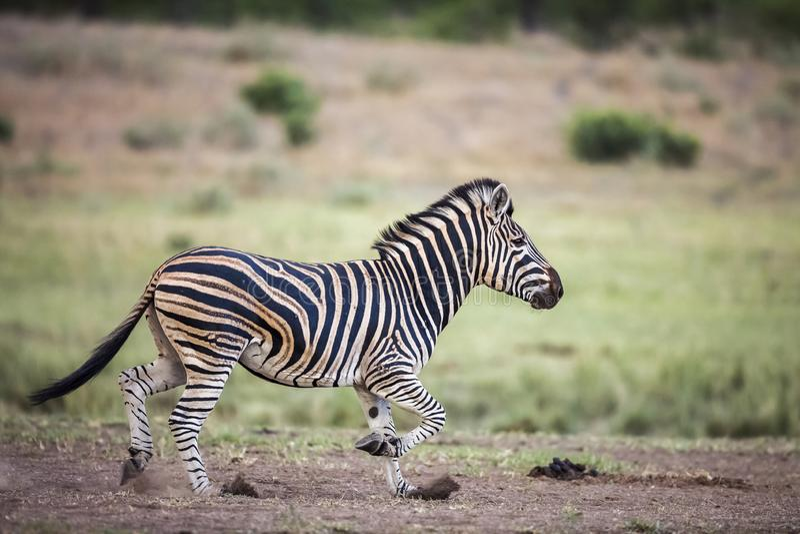 Aclara la cebra en el parque nacional de Kruger, Suráfrica fotografía de archivo libre de regalías