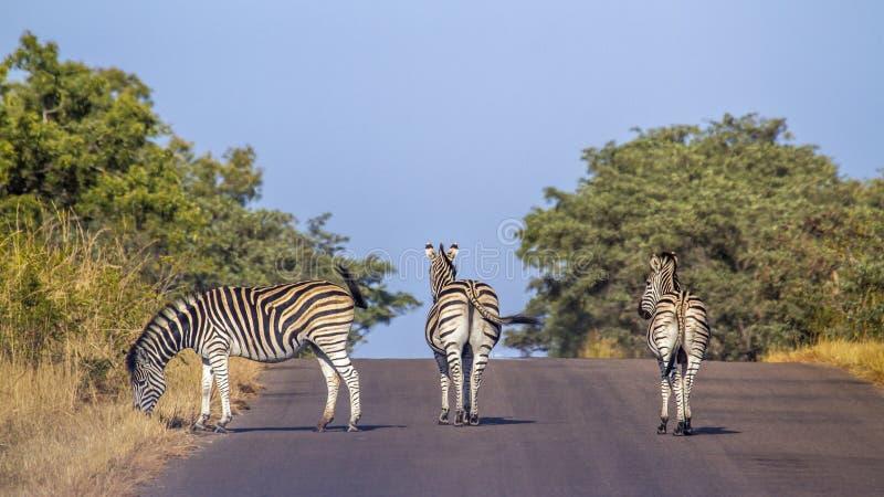 Aclara la cebra en el parque nacional de Kruger, Suráfrica foto de archivo