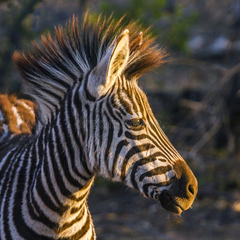 Aclara la cebra en el parque nacional de Kruger, Suráfrica imagenes de archivo