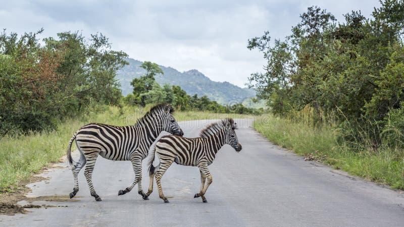Aclara la cebra en el parque nacional de Kruger, Sur?frica fotografía de archivo libre de regalías