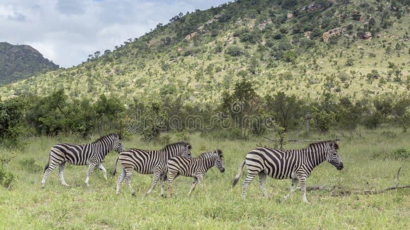 Aclara la cebra en el parque nacional de Kruger, Sur?frica fotos de archivo libres de regalías